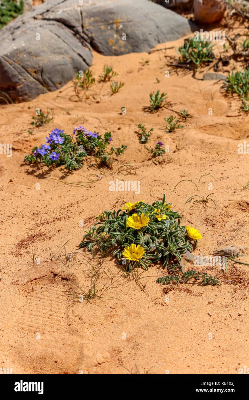 Flowers in sand, Algarve, Portugal Stock Photo