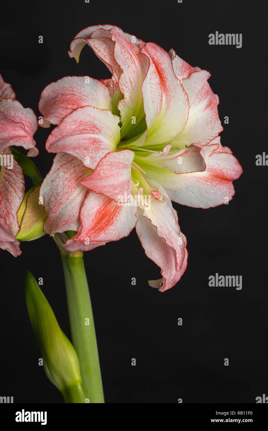 Amaryllis als wunderschöne Zimmerpflanze, Österreich - Stock Image