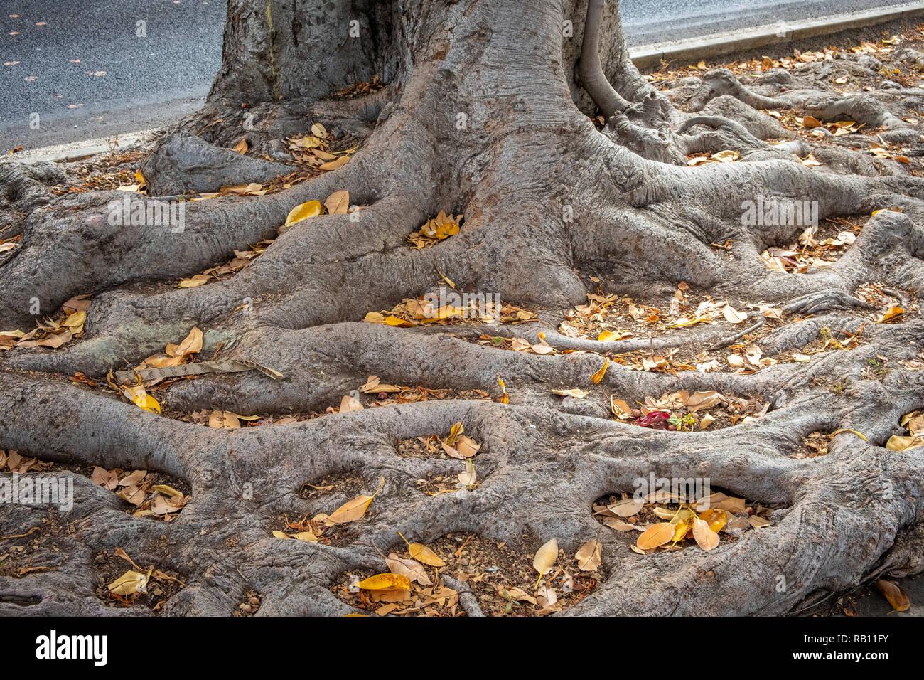 Nahaufnahme von Baumwurzeln in Puerto de la Cruz - Stock Image