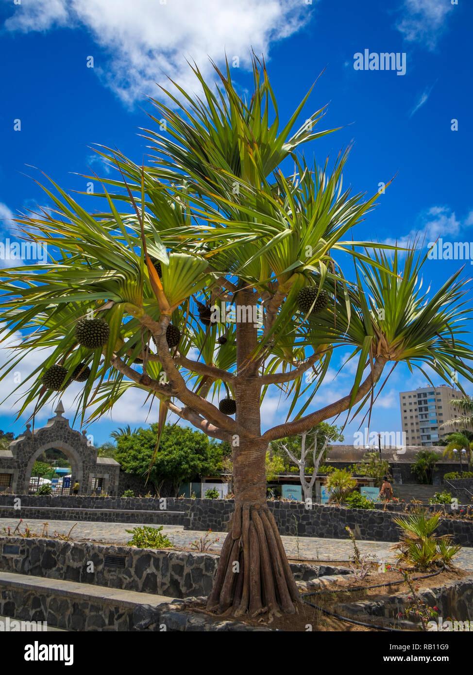 Baum an der Promenade in Santa Cruz, Teneriffa - Stock Image