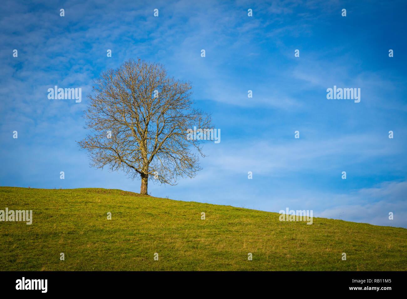 einsamer Baum am Pfänder, Vorarlberg, Österreich - Stock Image