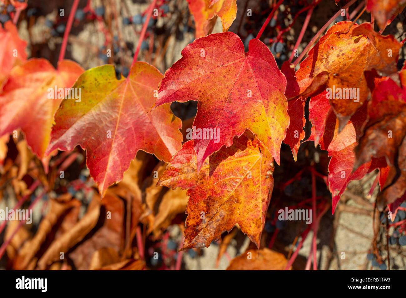 welkende bunte Blätter an einer Mauer - Stock Image