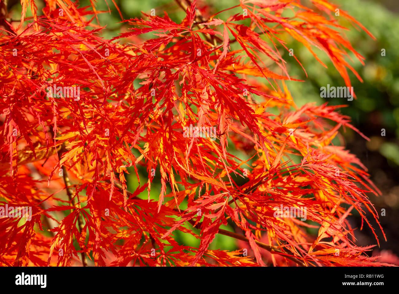 bunte Herbstblätter am Bodensee - Stock Image