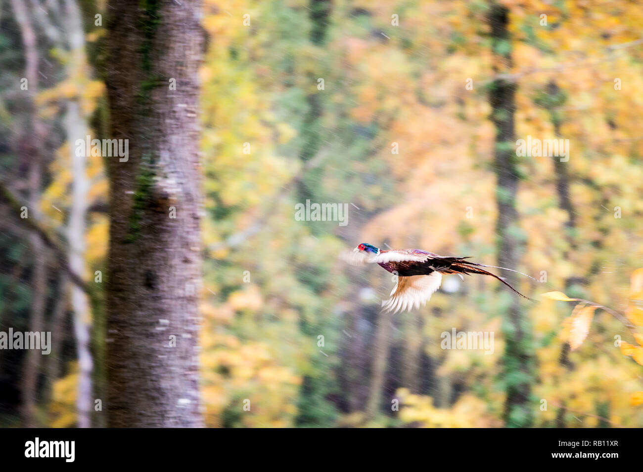 Pheasant flight in the autumn woods - Stock Image