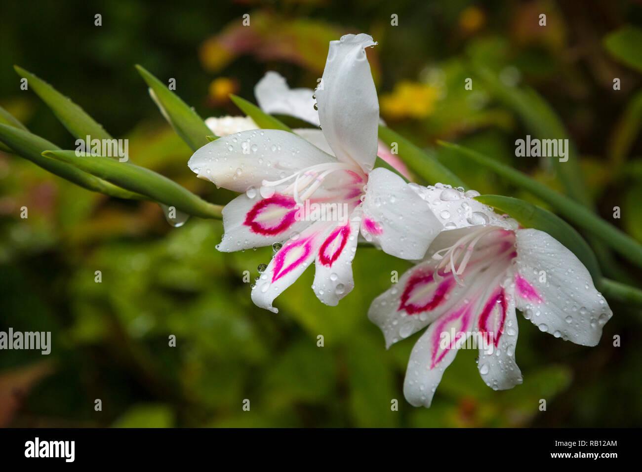 Gladiolus Rana in einem irischen Garten - Stock Image