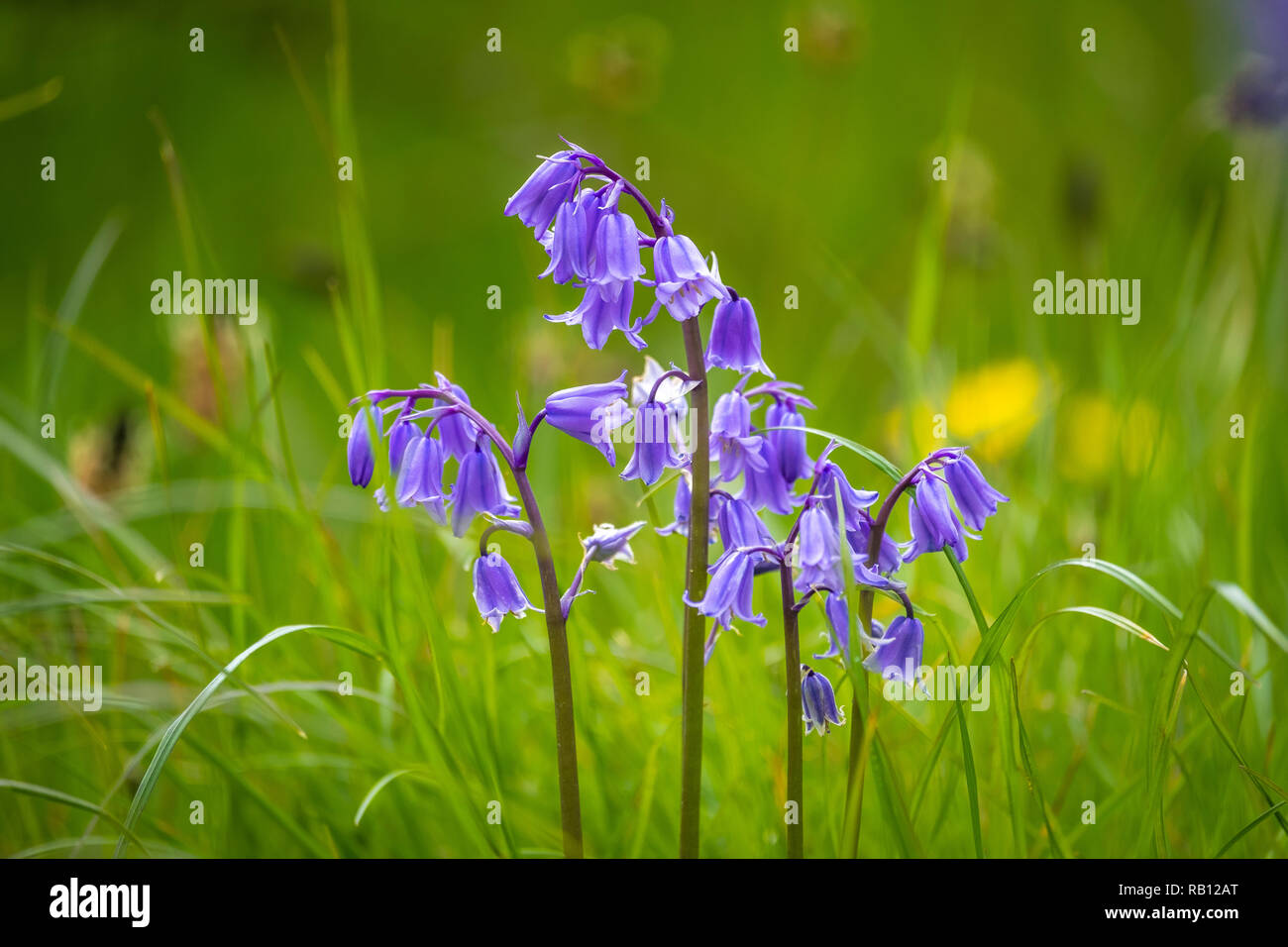 blaue Glockenblumen in Irland Stock Photo