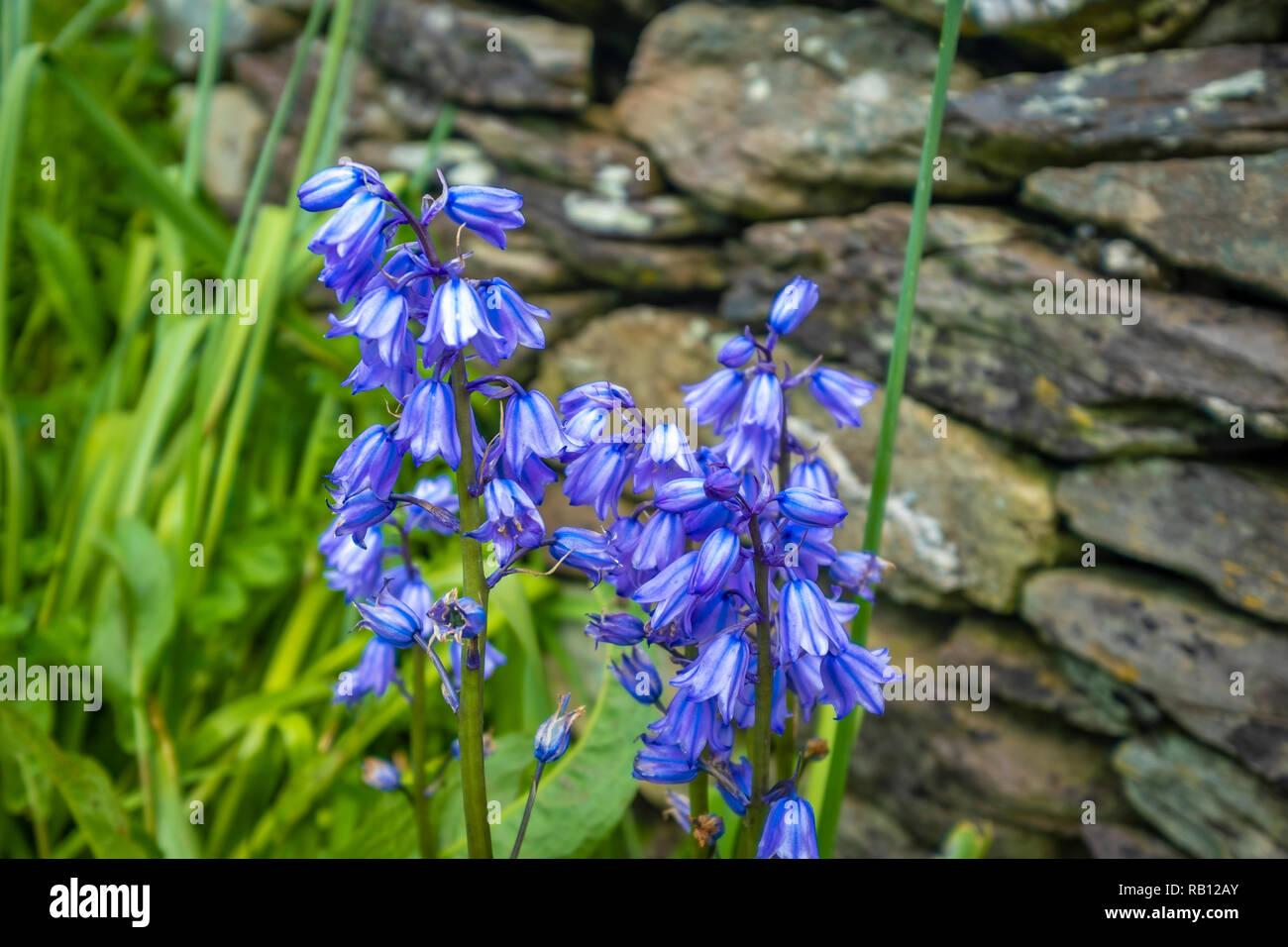 blaue Glockenblumen in Irland Stock Photo