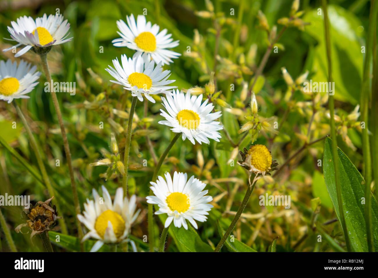 weiße Margeriten mit gelbem Kern - Stock Image