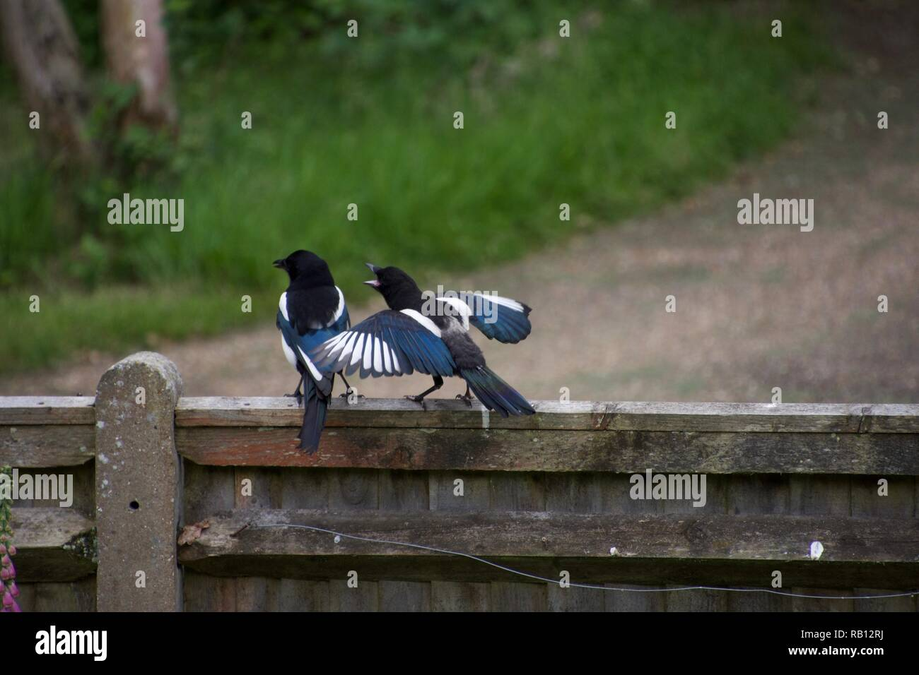 A juvenile magpie on a fence near an English country lane demands food from its parent, flapping its wings and squawking Stock Photo