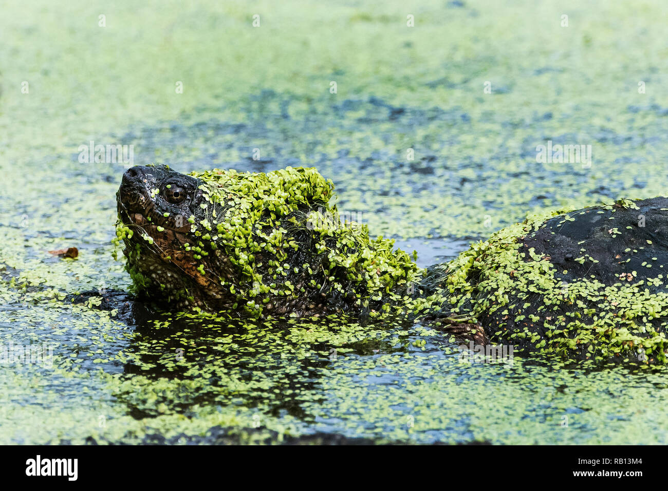 Snapping turtle covered with duck weed close-up swimming in pond Stock Photo