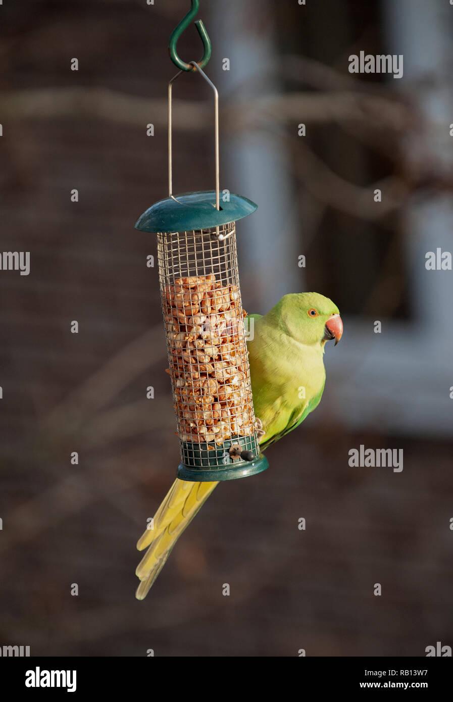 female Ring Necked Parakeet, Psittacula krameri, on nut feeder, London, United Kingdom Stock Photo