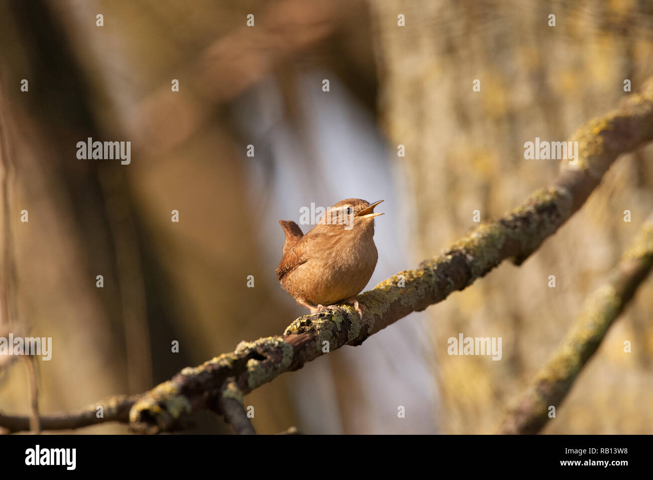 European Wren,Troglodytes troglodytes, singing from branch, Hampstead Heath, London, United Kingdom Stock Photo