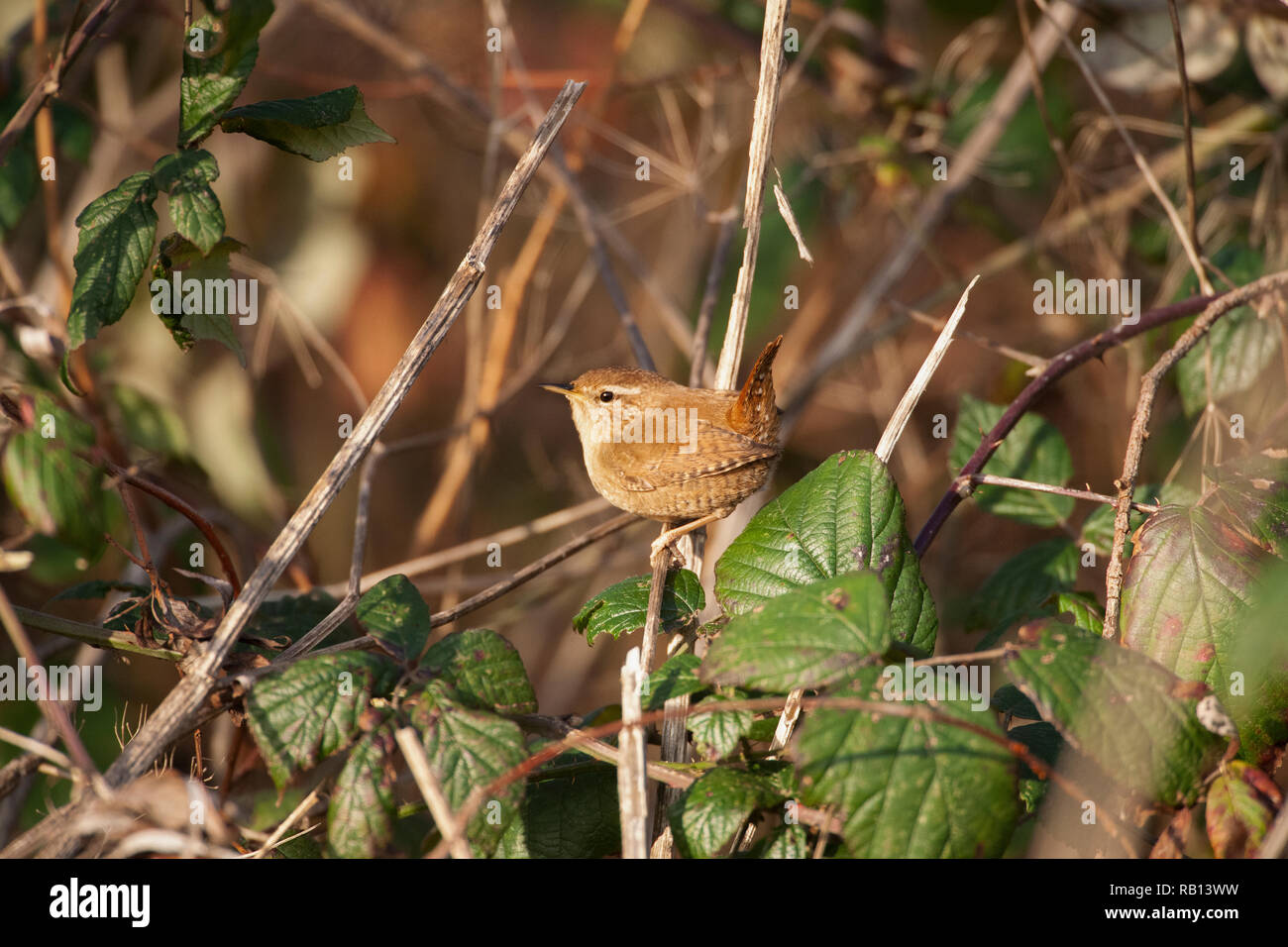 European Wren,Troglodytes troglodytes, Hampstead Heath, London, United Kingdom Stock Photo