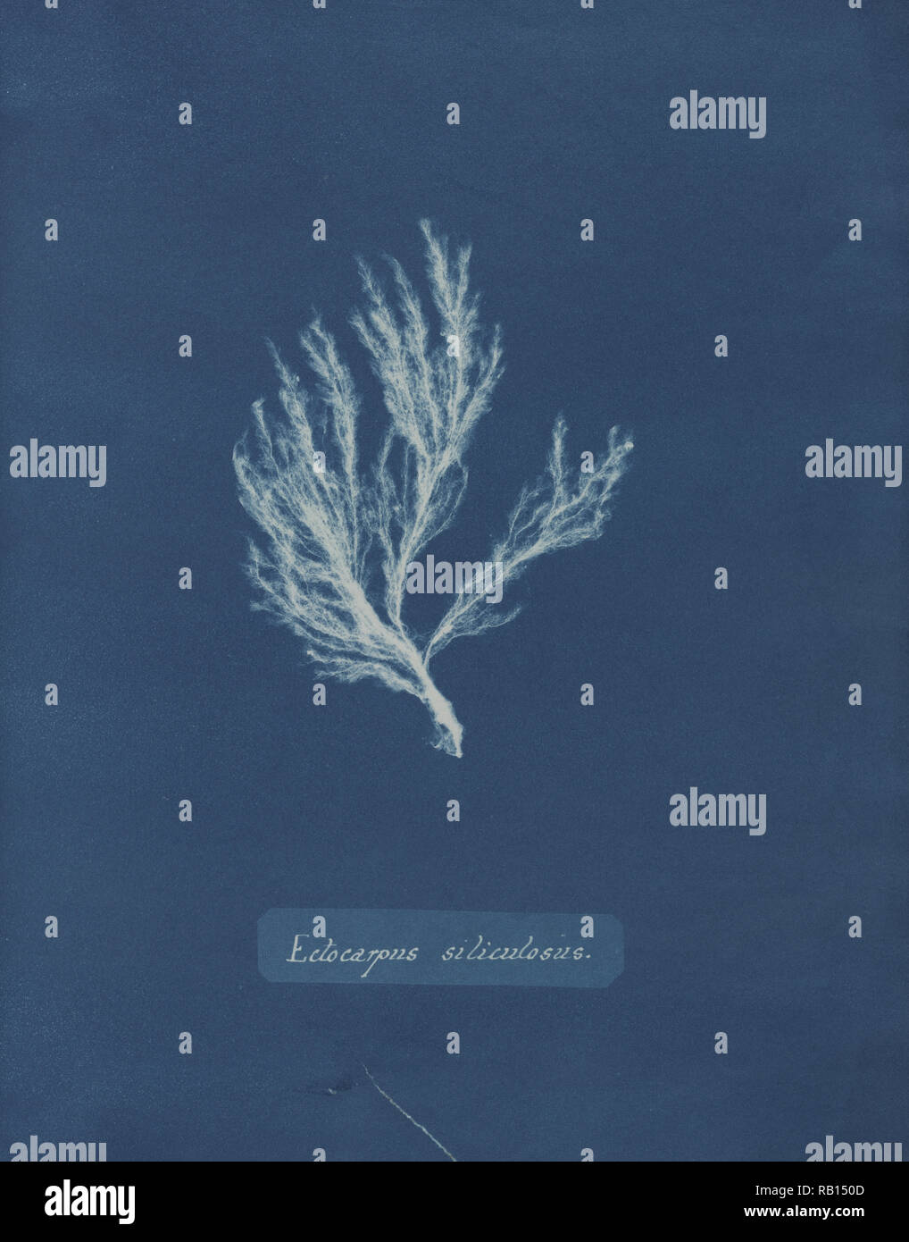 10 Culos photographs of british algae - cyanotype impressions ca
