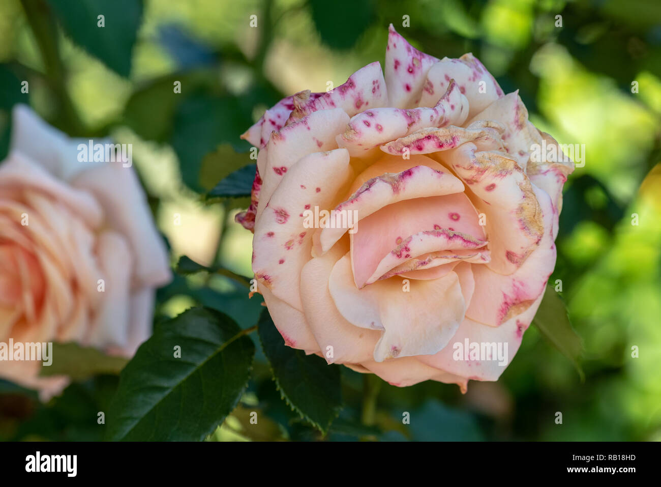 Color outdoor floral macro of a single isolated pink white rose  speckled flecked blossom,natural blurred green background,detailed texture,sunny - Stock Image