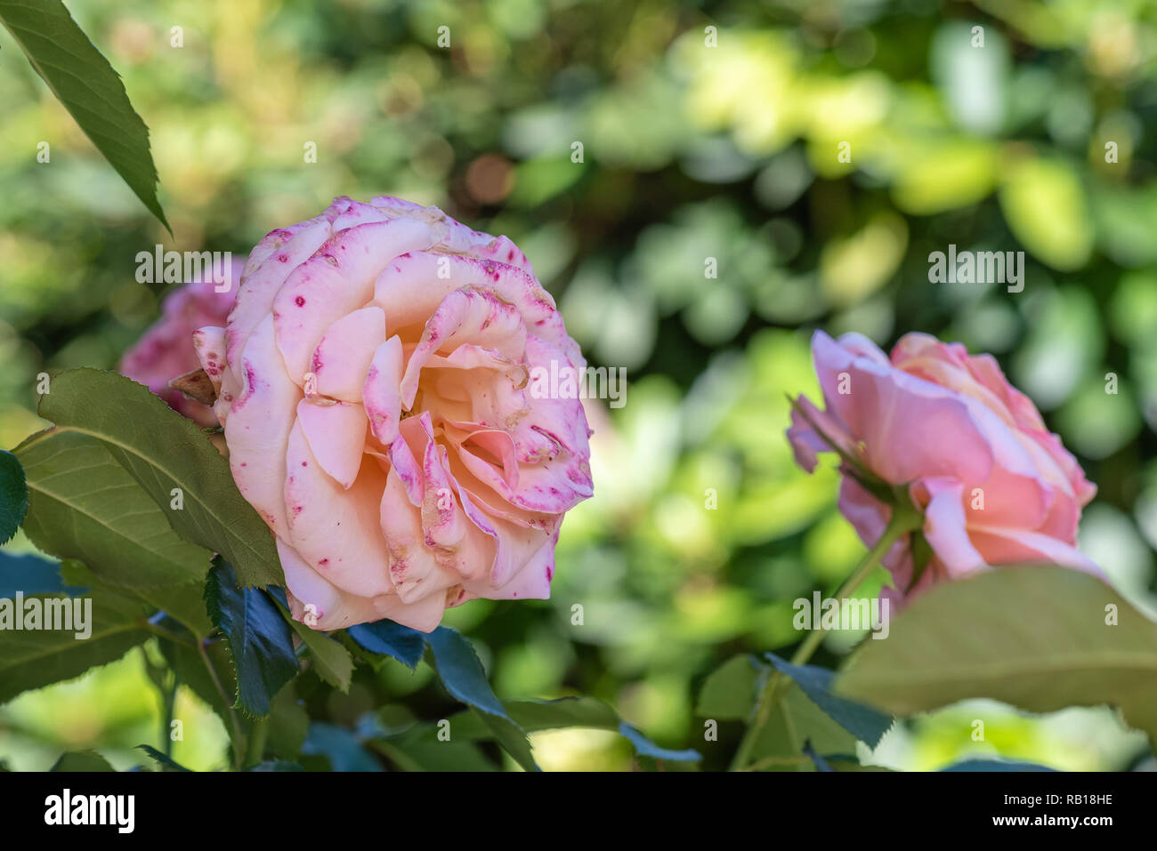 Color outdoor floral macro of a single pink white rose  speckled/flecked blossom on natural blurred green background,detailed texture,sunny summer day - Stock Image