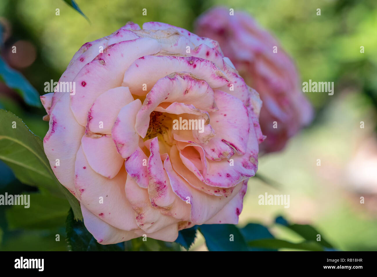 Color outdoor floral macro of a single isolated pink white rose  speckled/flecked blossom, natural blurred green background,detailed texture,sunny - Stock Image
