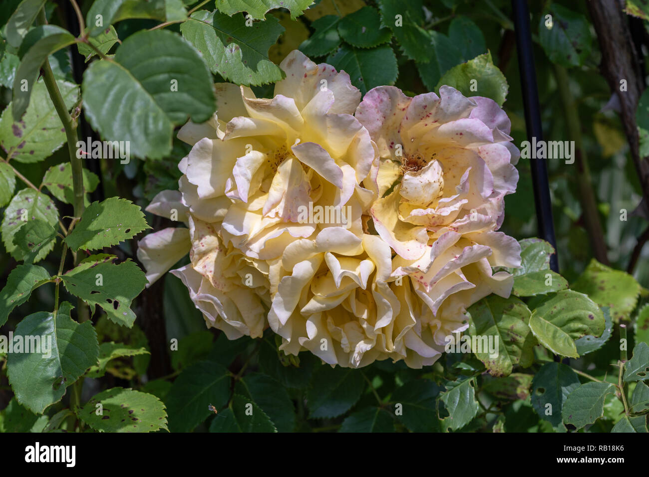 Color outdoor nature flower image of a fading lush bunch white pink rose blossoms on natural blurred green background,symbolic age,decay,fade,wrinkled - Stock Image