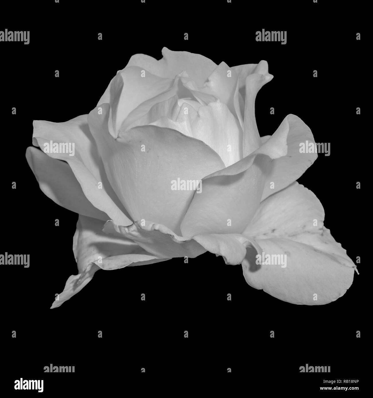 Bright monochrome black white fine art still life flower macro of a