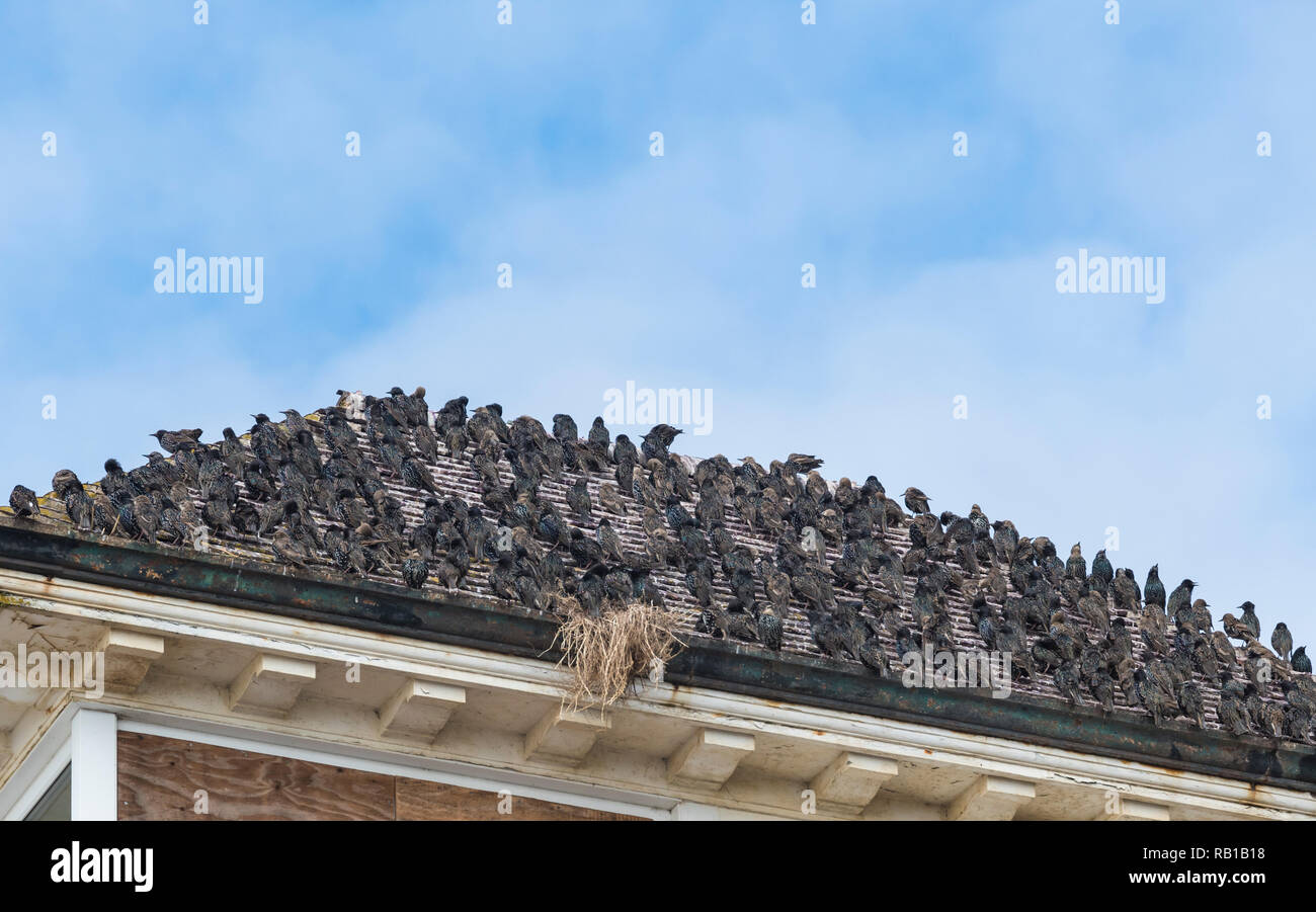 Murmuration of Common Starlings (Sturnus vulgaris) packed together and perched on a rooftop in Summer in West Sussex, England, UK. - Stock Image