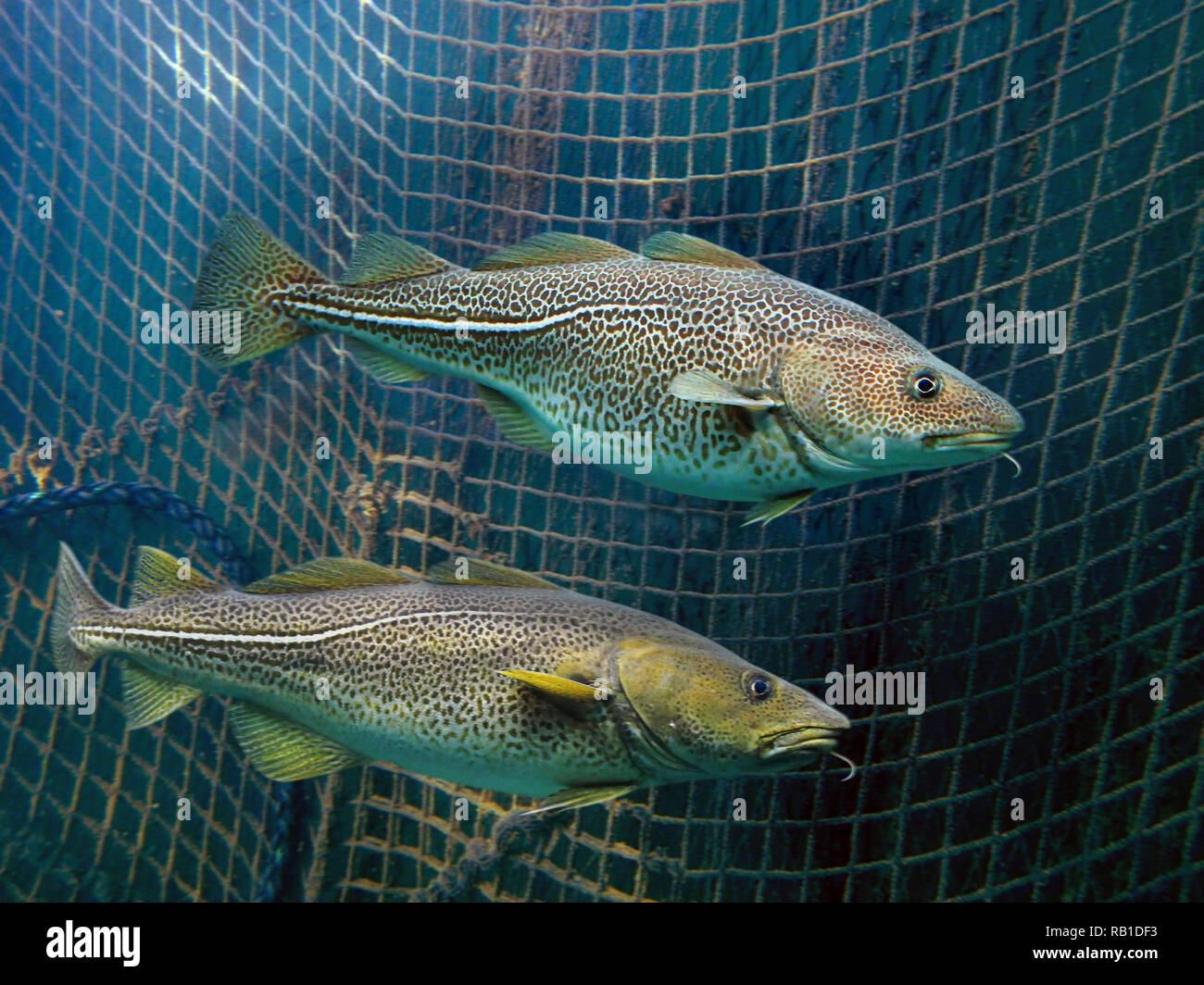 Atlantic cod, Gadus morhua, inside fishing net. Atlantic cod is not only an economic mainstay for many people but also a dominant member - Stock Image