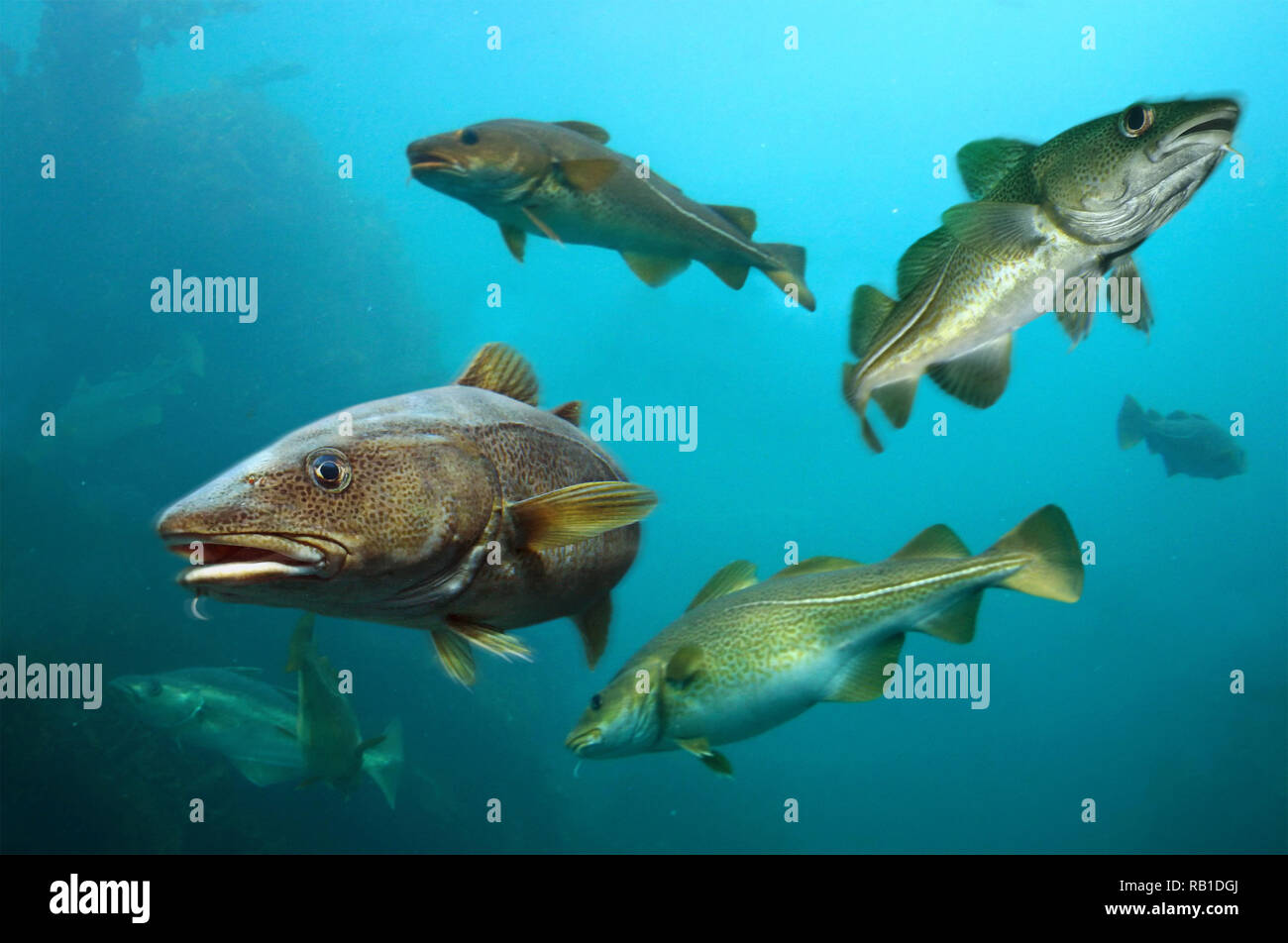 Atlantic cod, Gadus morhua, shoal. Atlantic cod was not only an economic mainstay for many people but also a dominant member of the food chain - Stock Image