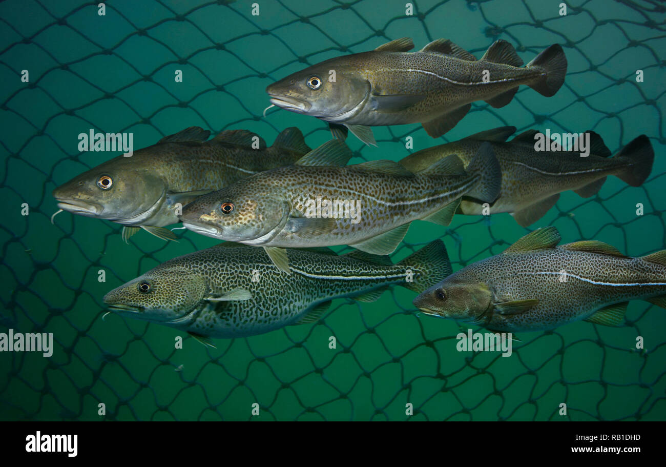 Atlantic cod, Gadus morhua, shoal inside fishing net. Atlantic cod is not only an economic mainstay for many people but also a dominant member - Stock Image