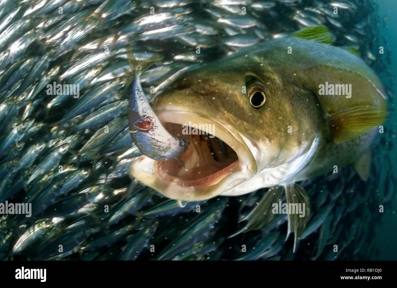 Atlantic cod, Gadus morhua, hunting sardines.Atlantic cod is a target species for recreational fishers in the North Atlantic. - Stock Image