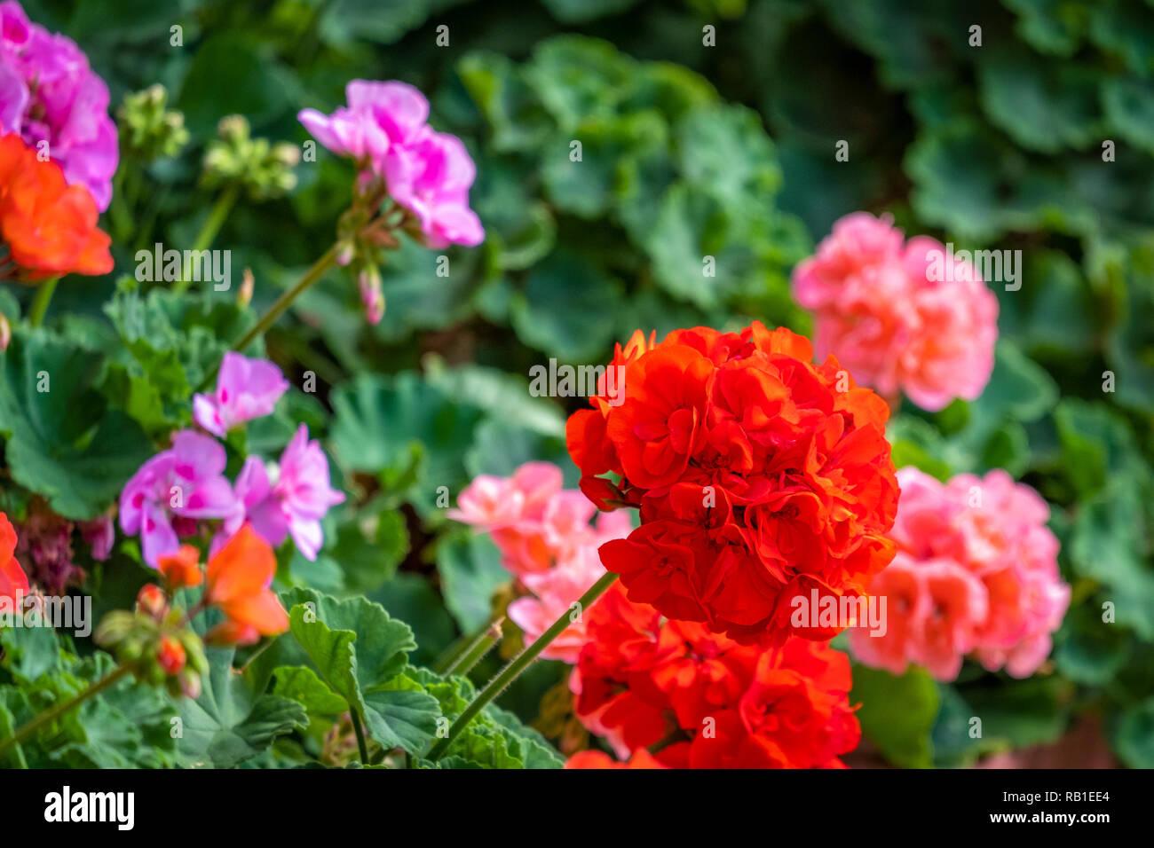 Geranien in einem privaten Garten - Stock Image