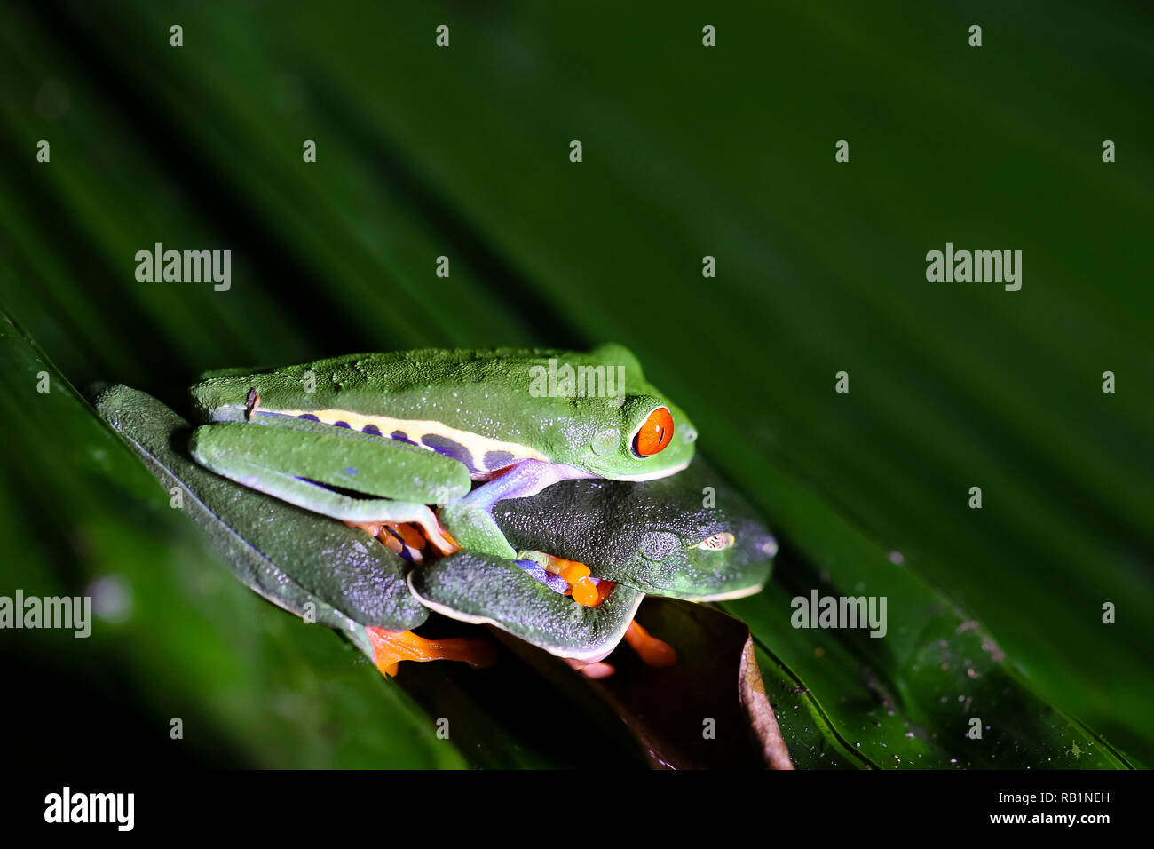 Red-eyed leaf frogs mating in Costa Rican rainforest Stock Photo