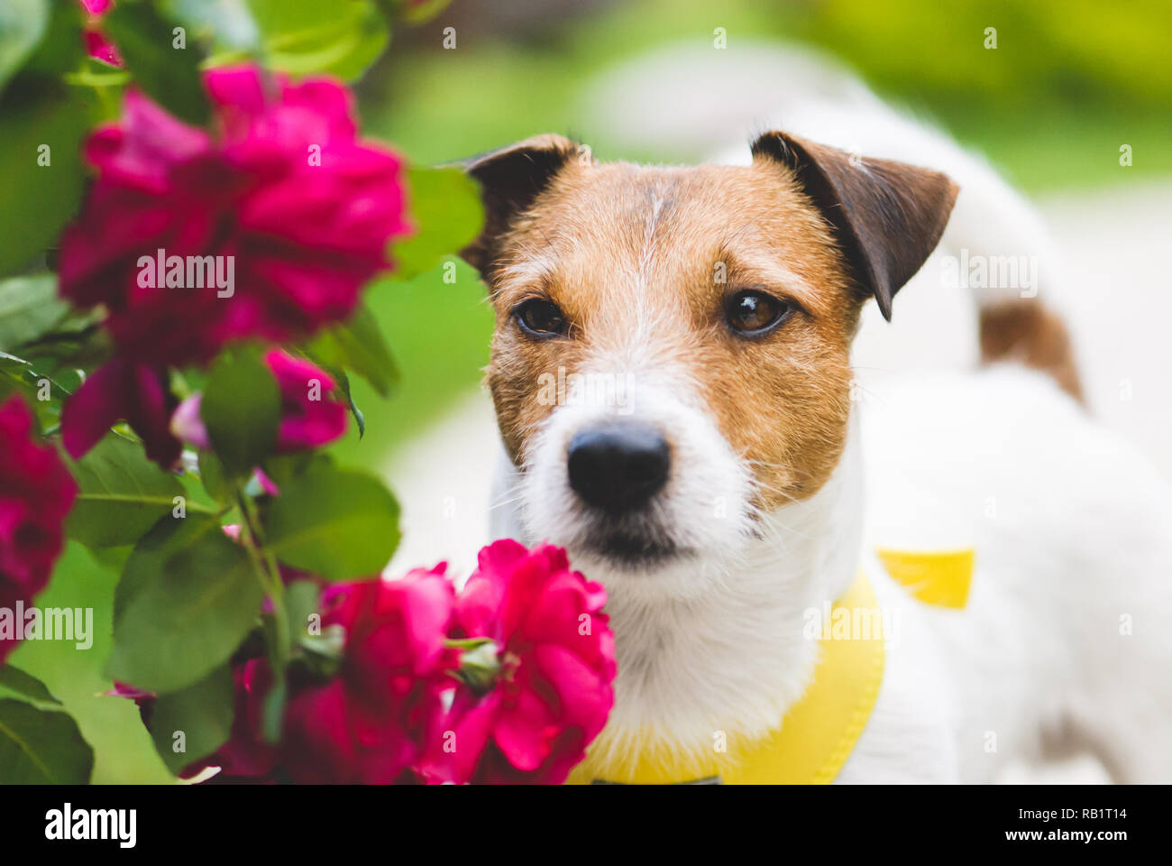 Romantic scene with lovely dog and flowers - Stock Image