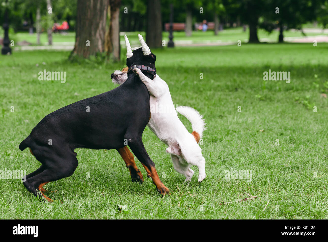 Doberman Pinscher with bandaged ears playing with small dog at park - Stock Image