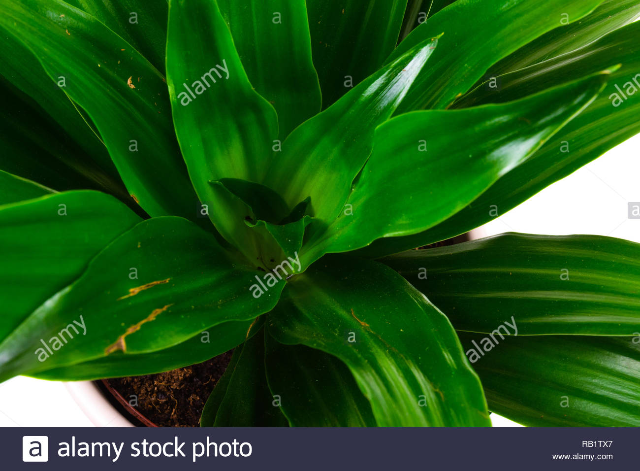 Close up of Draceana bright greenleaves - Stock Image