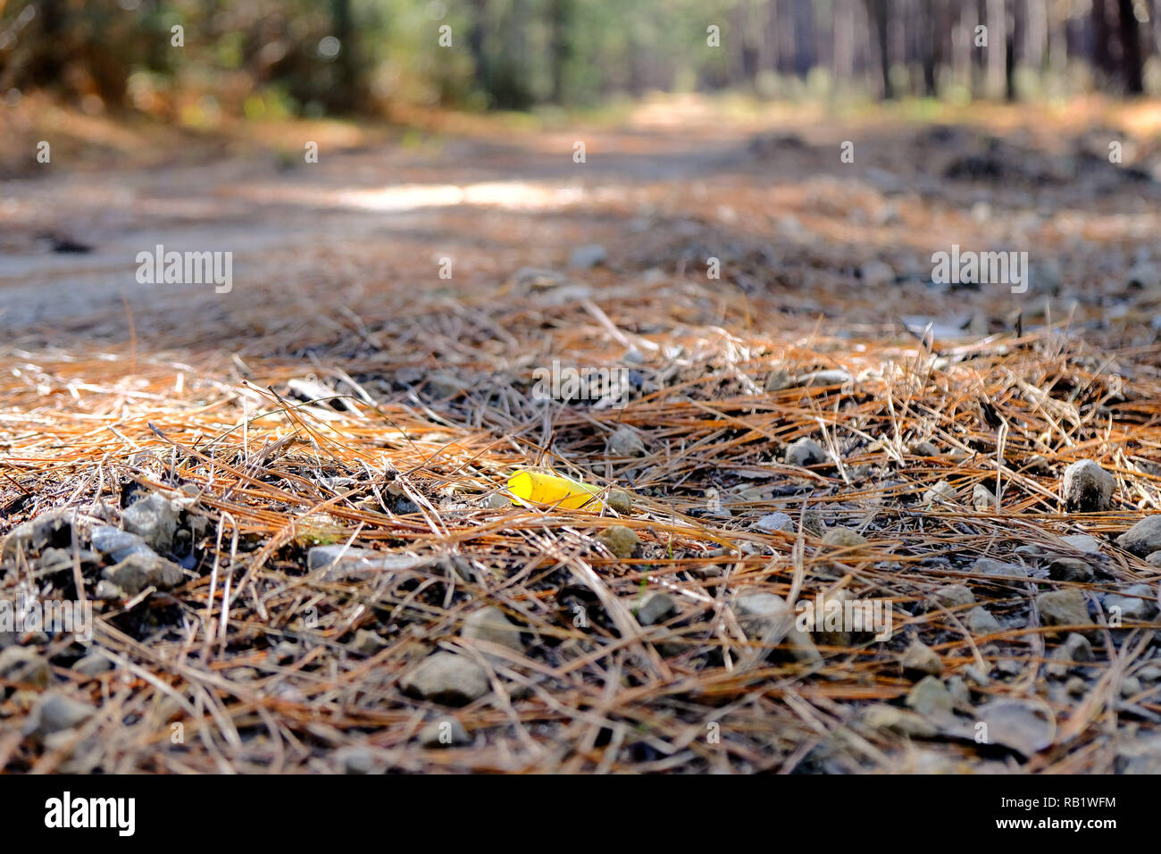Empty fired 12-gauge shotgun shell on the ground with dry pine needles at the Sam Houston National Forest in Texas, USA. - Stock Image