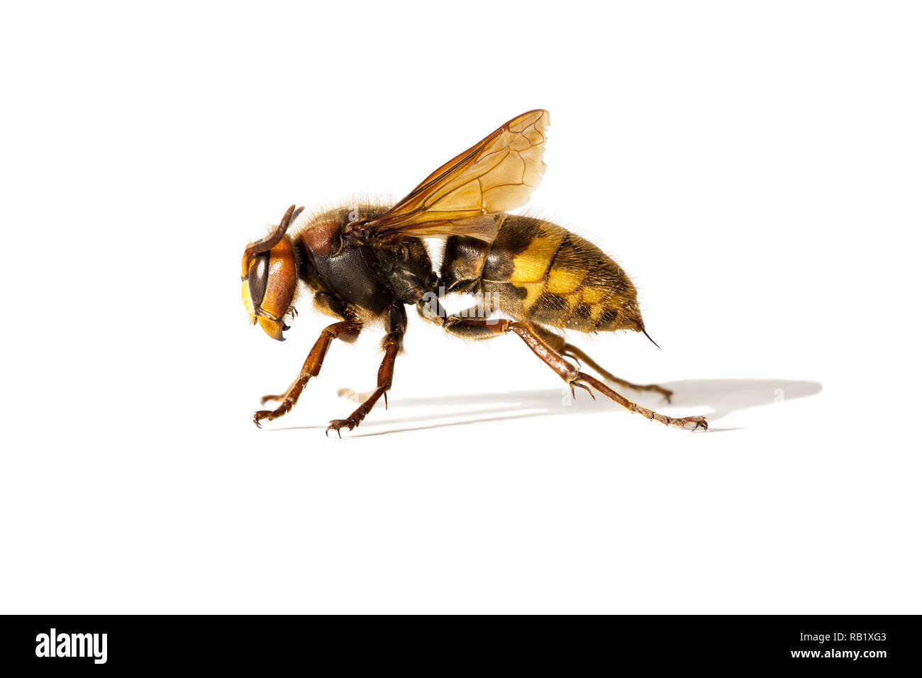 A photo of the European Hornet (Vespa crabro) isolated on a white background - Stock Image