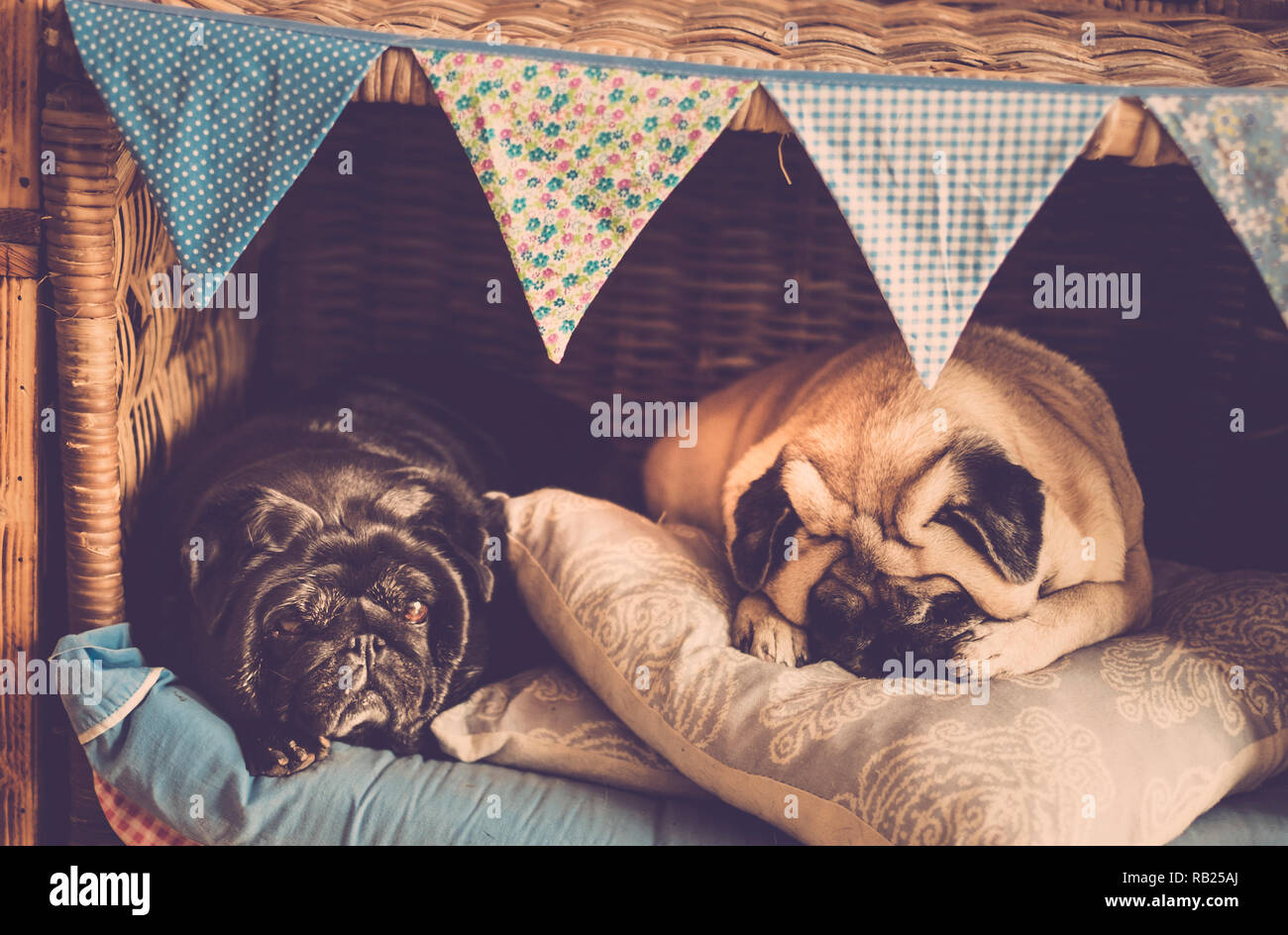 Two beautiful old dog pug together in friendship or like married couple in the cozy little house sleeping and living closer - love and friends concept - Stock Image