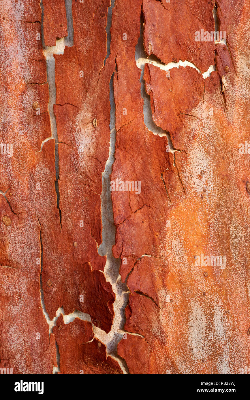 Annual shedding of old bark on Corymbia citriodora tree, Victoria, Australia. - Stock Image