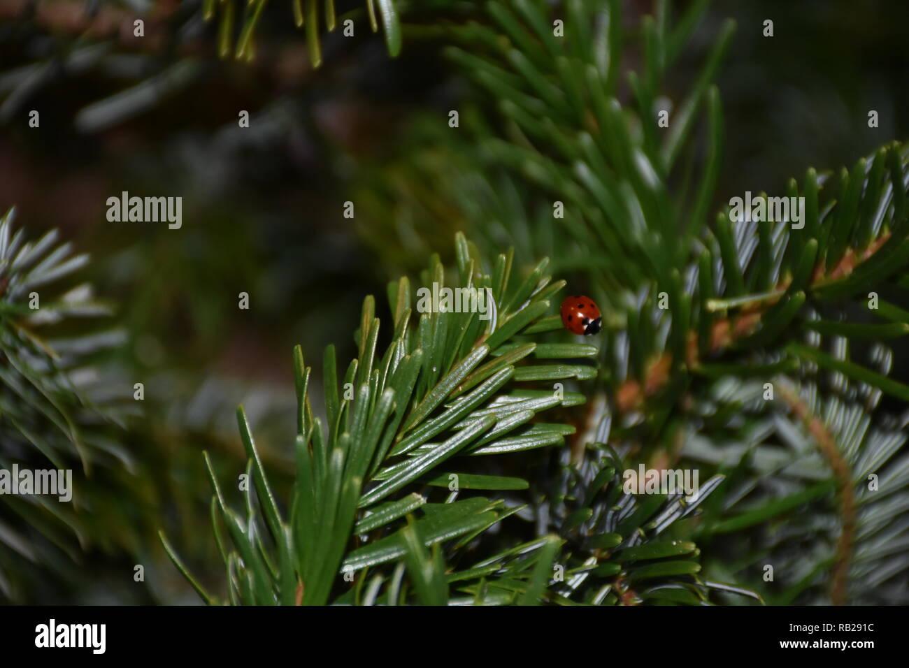 Weihnachten, Christbaum, Tanne, Ast, Nadeln, Marienkäfer, Käfer, krabbeln, fliegen, Orientierung, überwintern, warm, Wärme, Feiertag, Baum, Nadelbaum - Stock Image