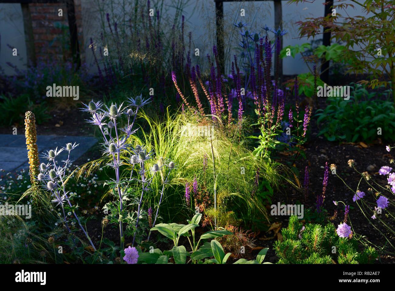 evening sun,illuminates,illuminate,shines,shining,newly planted,mix,mixed,perennial bed,border,scabiosa,eryngium,verbena,acer,gardens,garden design,RM - Stock Image