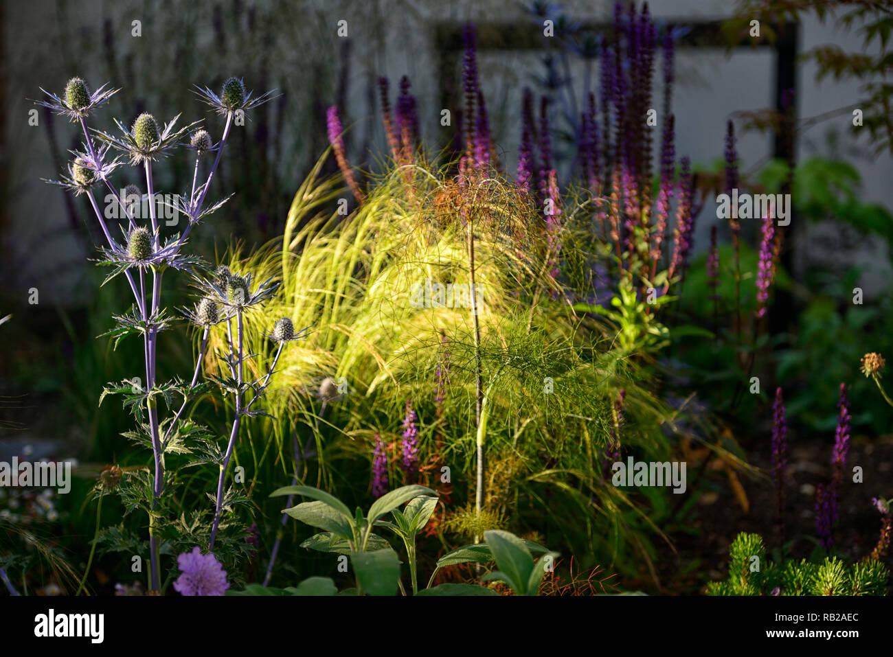 evening sun,illuminates,illuminate,shines,shining,newly planted,mix,mixed,perennial bed,border,scabiosa,eryngium,verbena,acer,gardens,garden design,RM Stock Photo