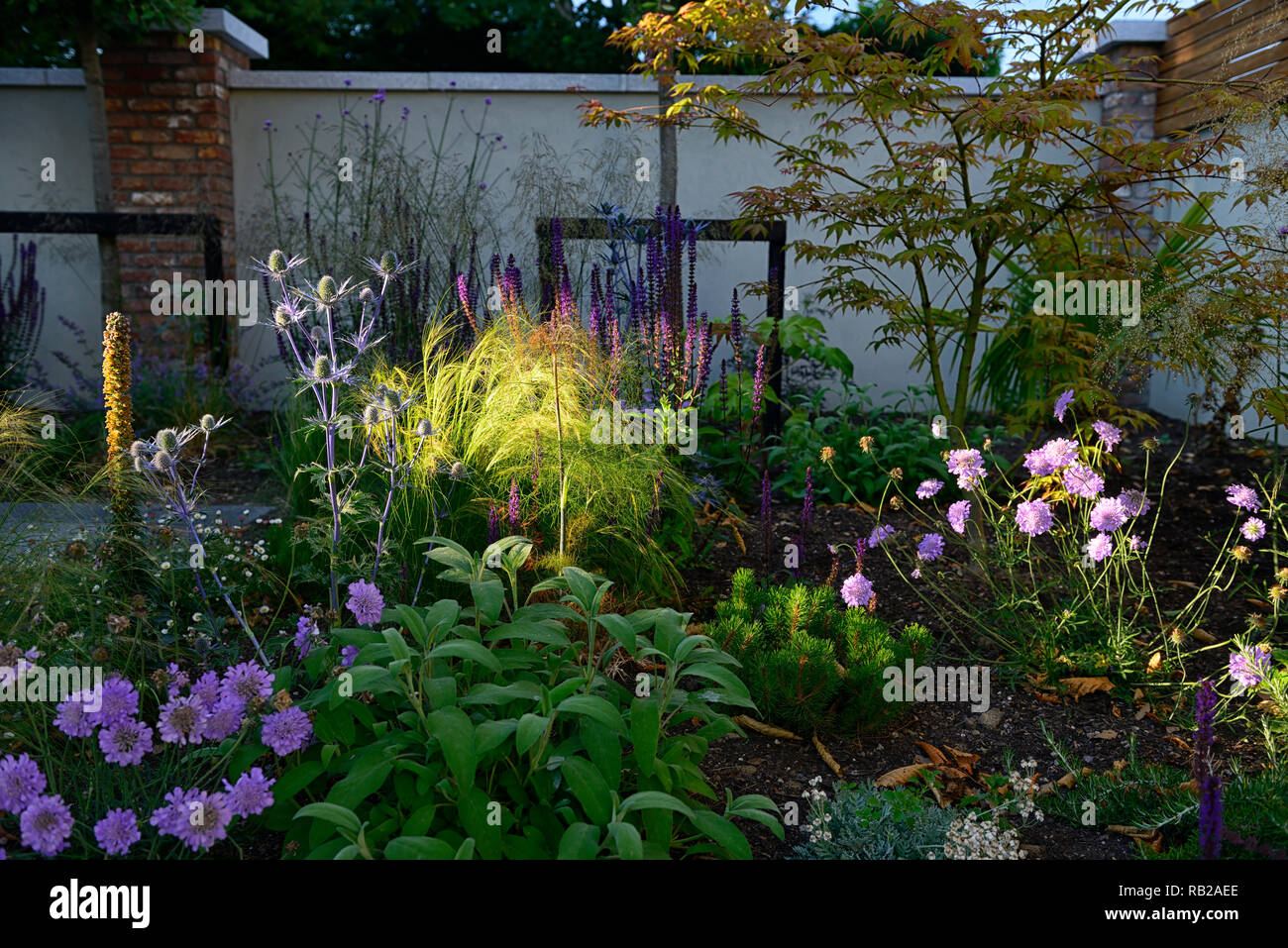 evening sun,illuminates,illuminate,shines,shining,newly planted,mix,mixed,perennial bed,border,scabiosa,eryngium,verbena,acer,gardens,garden design,RM - Stock Image