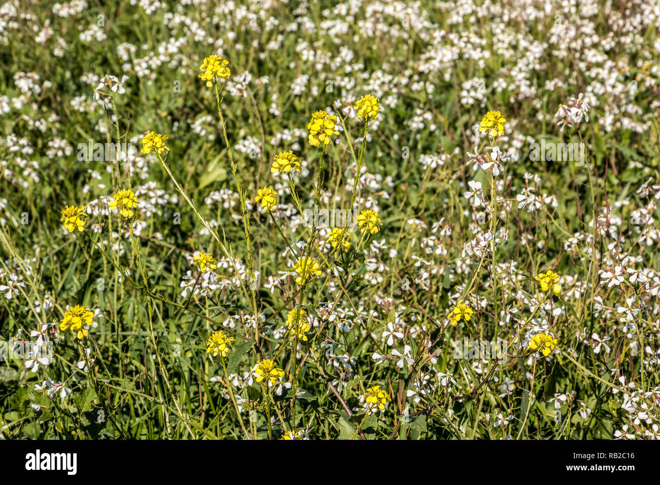 Green and colorful flower field with yellow and white flowers - Stock Image