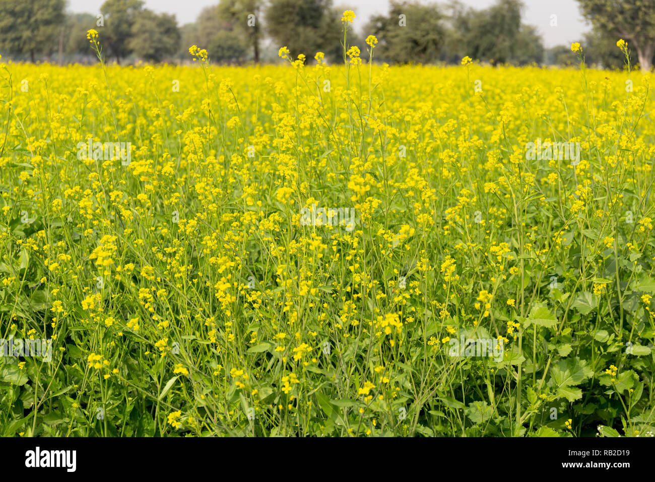 Background of mustard plants with beautiful yellow flowers field in Indian. - Stock Image