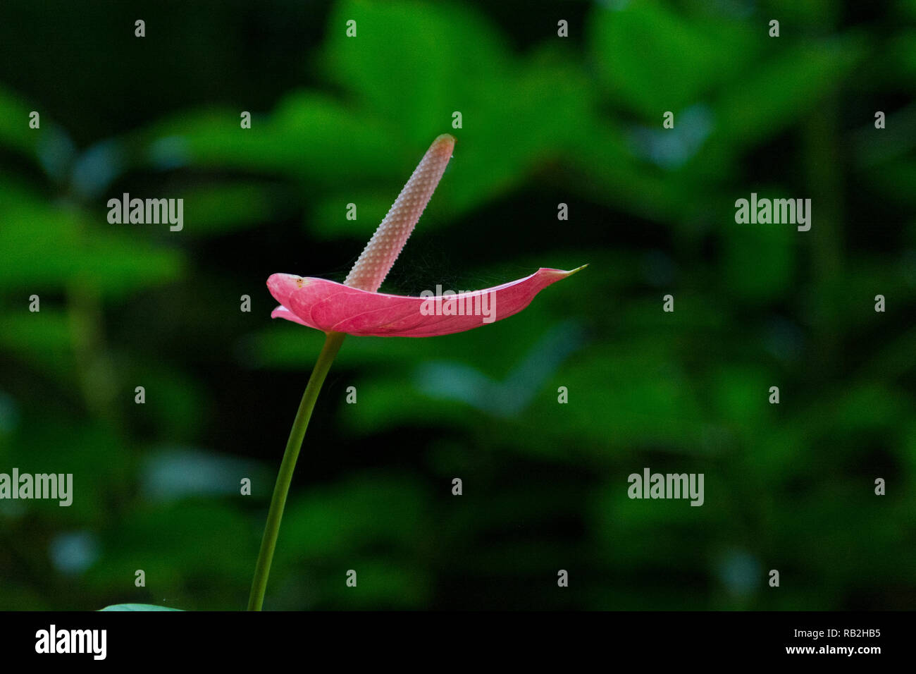 Red Anthrurium flower in nature, selective focus, side view, centered, featuring large copy space - Stock Image