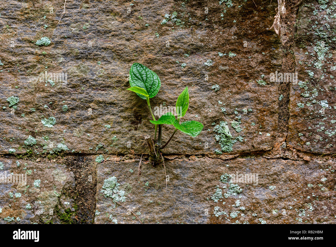 Plant developing in a crack on the wall - overcoming difficulties concept - Stock Image