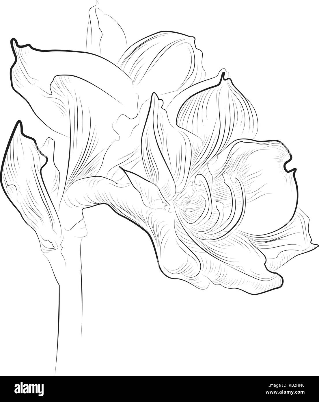 Delicate amaryllis blossom line drawing in black and white - Stock Vector