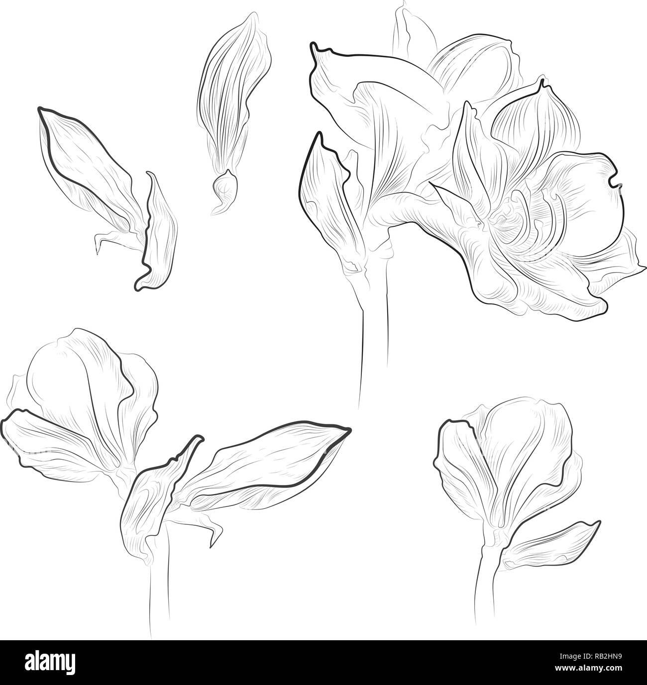 Monochrome amaryllis line drawings, isolated - Stock Vector