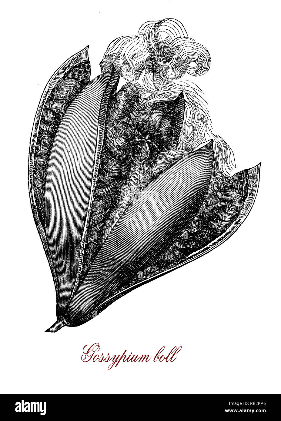 Gossypium is flowering plant  from which cotton is harvested. The seeds are contained in a capsule called a boll, each seed surrounded by fibres that are the commercially interested part of the plant.Vintage engraving. - Stock Image