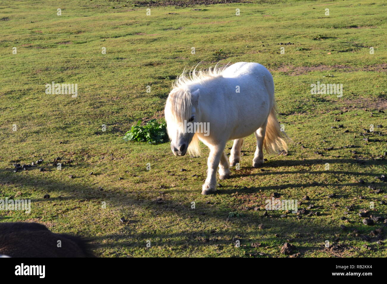 A white Shetland pony in a field at Christmas Tree Farm, a children's farm in Downe, Kent, England, in early autumn late afternoon sunlight - Stock Image