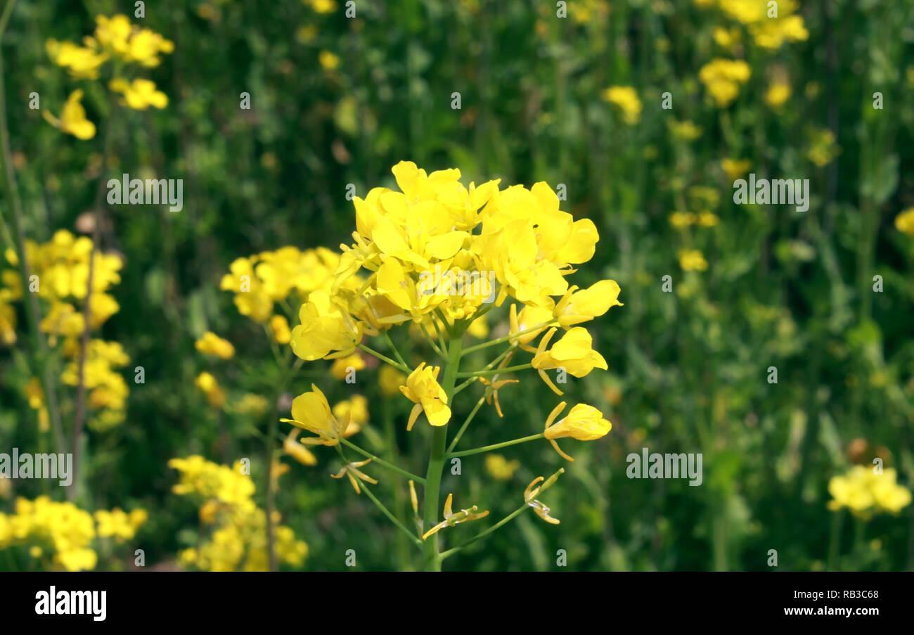 Seasonal Yellow Mustard Flowers In The Field Stock Photo Alamy